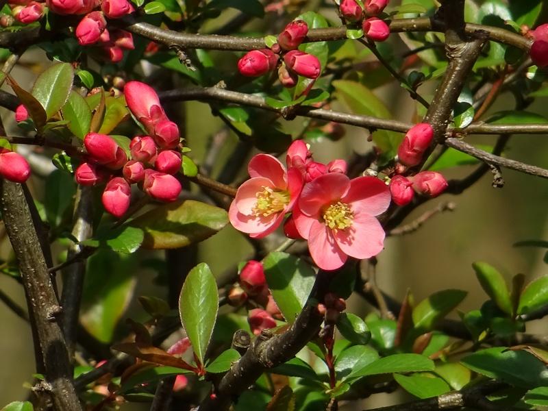 Les arbustes et bonsa - Cognassier du japon taille ...